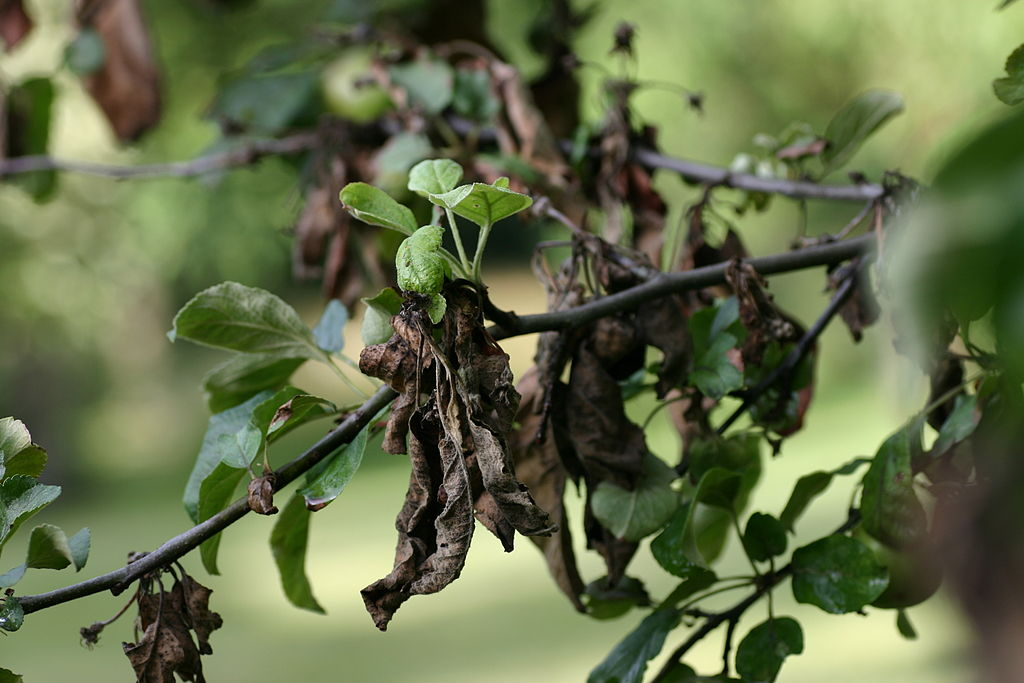 Sick tree with blight