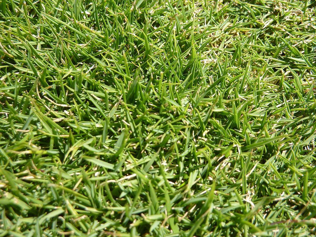 Zoysia Grass in lawn