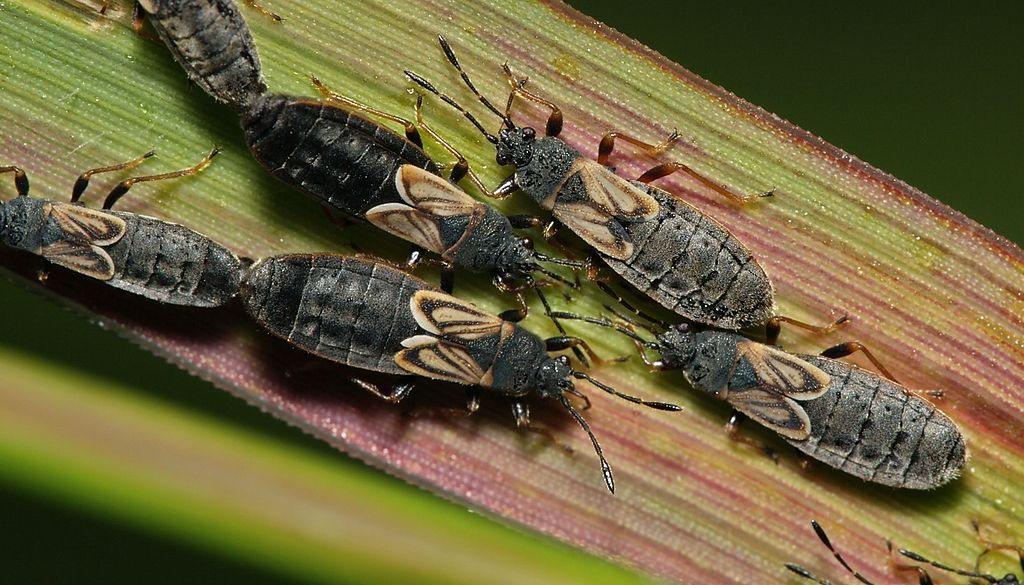 chinch bugs on grass blade