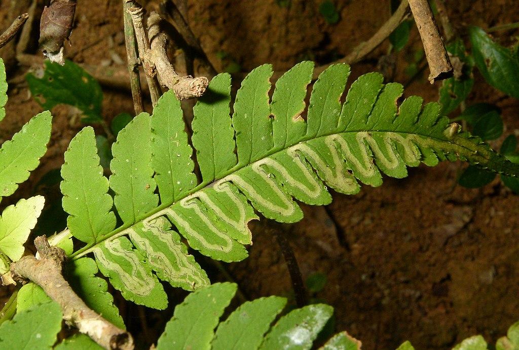 leaf miner insect damage