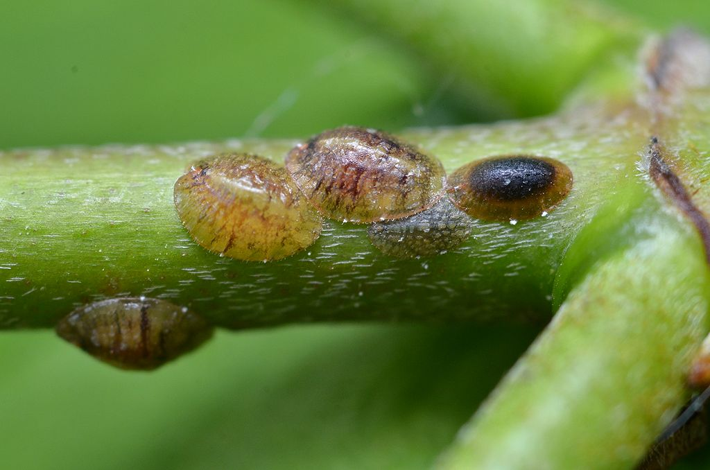 Scale insects on tree stem