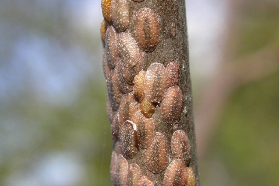 scale insects on tree
