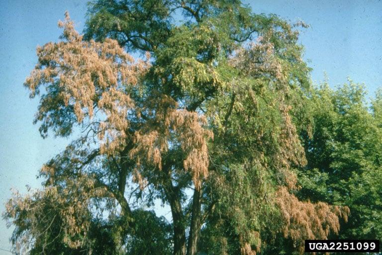 Tree with verticillium wilt disease