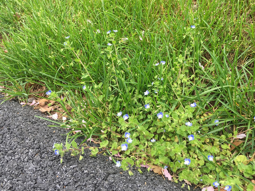 Corn speedwell lawn weed