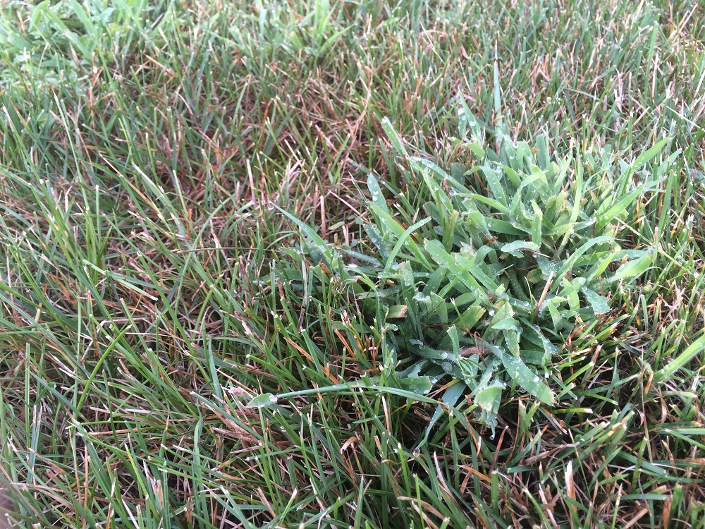 Clump of crabgrass in lawn