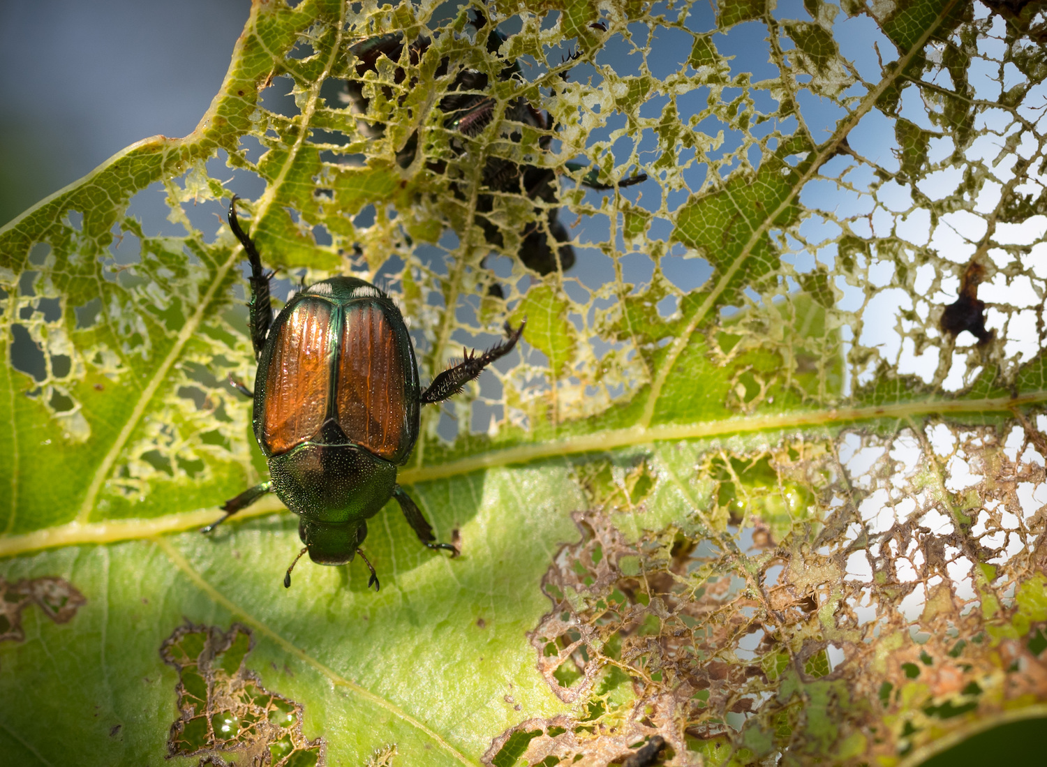 beetle eating a leaf needing shrub care