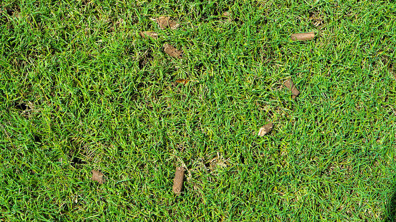 aeration plugs in lawn