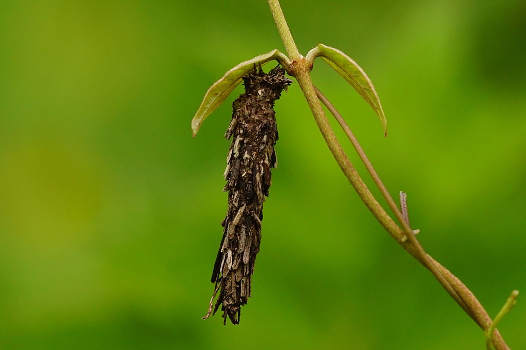 bagworm on branch damaging plant
