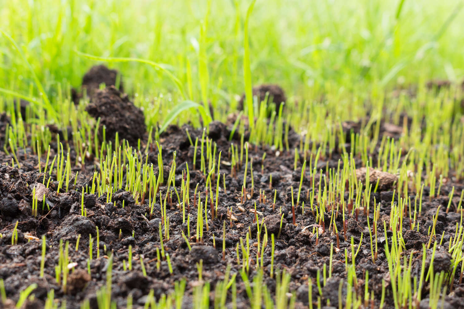 The best grass seed sprouting