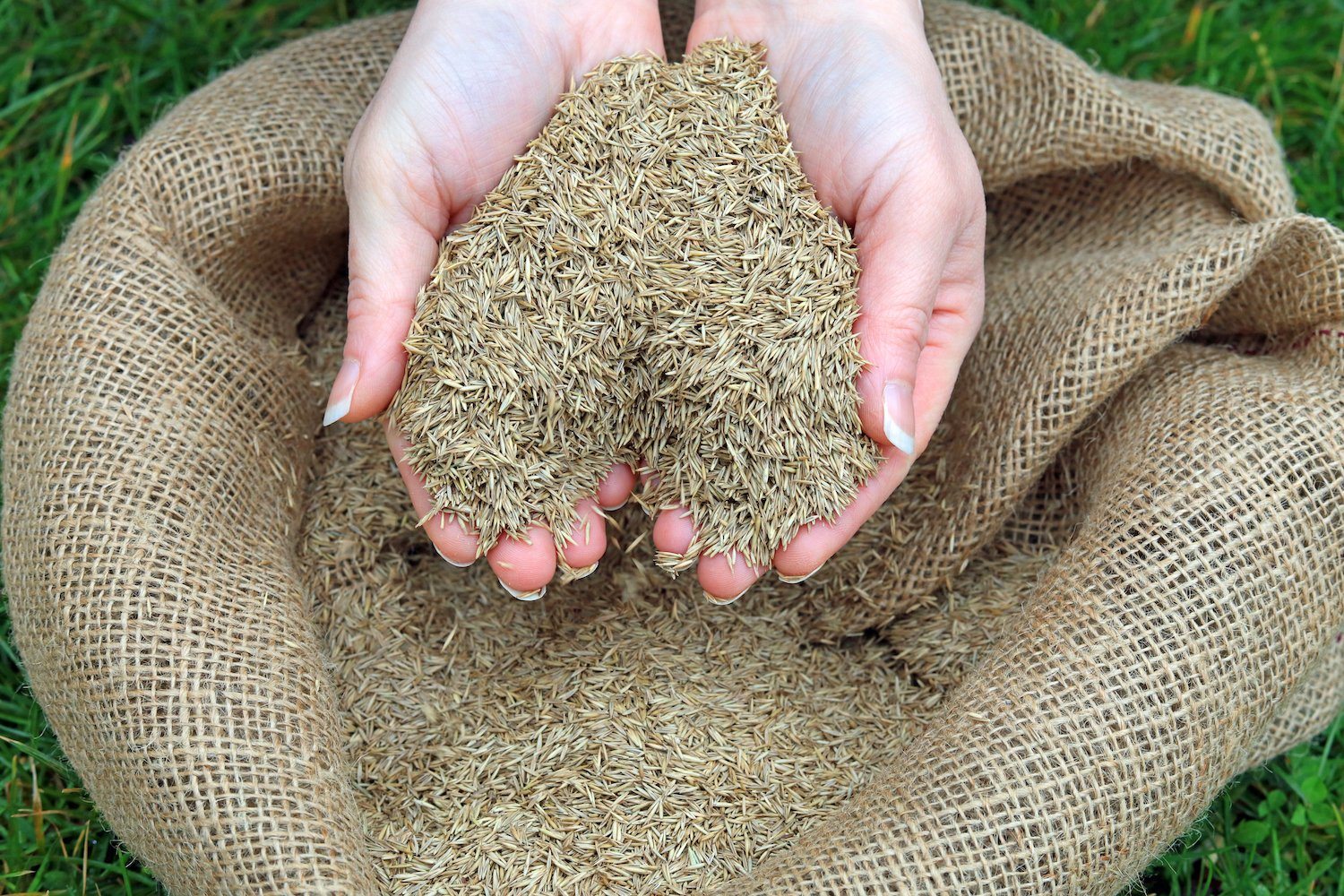 Throwing grass seed down in your lawn
