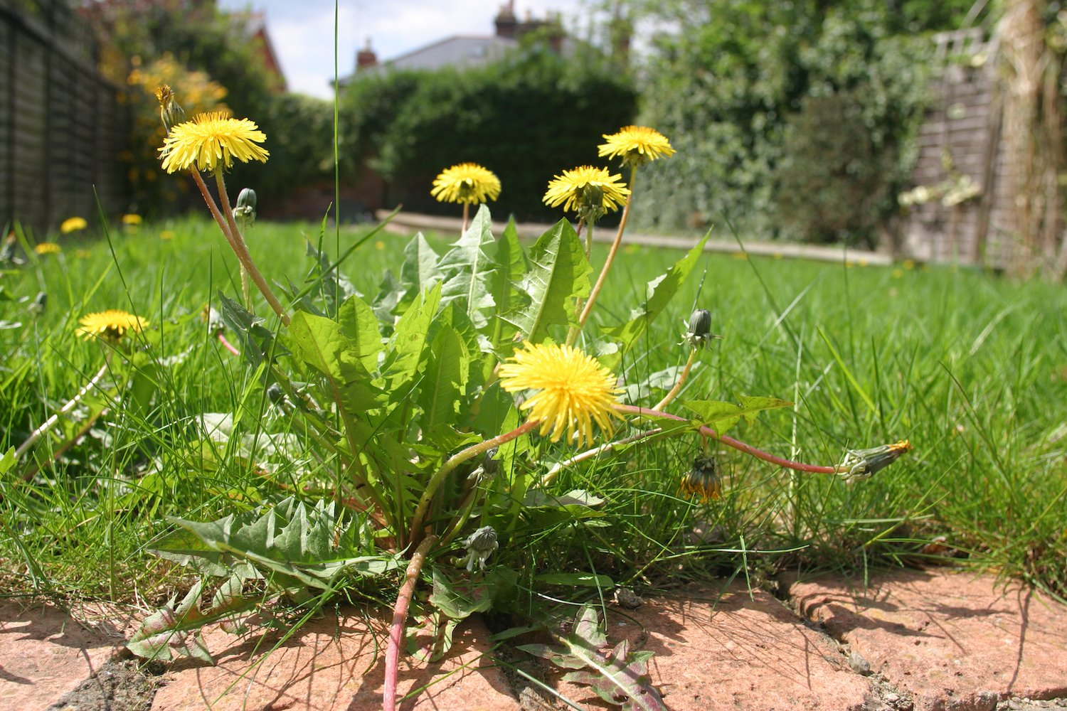 Pesky weeds ruining your lawn
